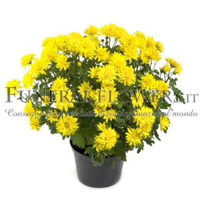 Pianta di crisantemo giallo